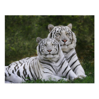 White phase, Bengal Tiger, Tigris Postcard