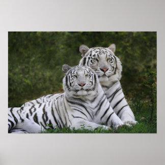 White phase Bengal Tiger Tigris Poster