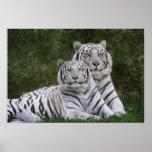 White phase, Bengal Tiger, Tigris Print