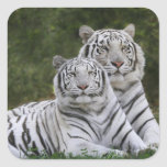 White phase, Bengal Tiger, Tigris Square Stickers