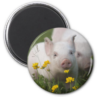 White Piglet Surrounded by Yellow Flowers 6 Cm Round Magnet