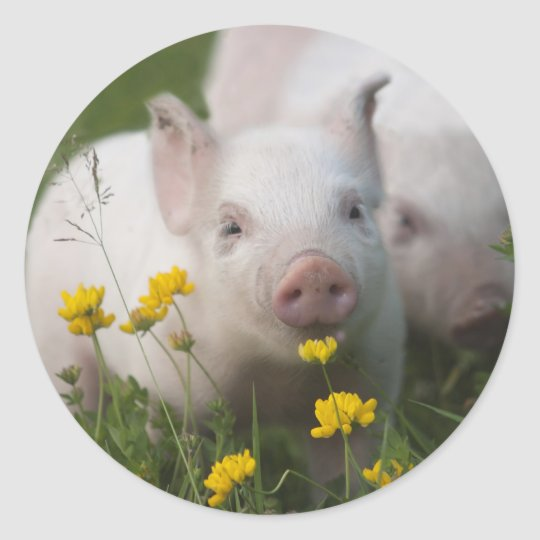 White Piglet Surrounded by Yellow Flowers Classic Round