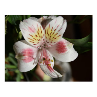 White/Pink Alstroemeria Post Card