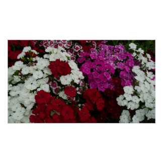 White, Pink and Red Dianthus Floral Poster