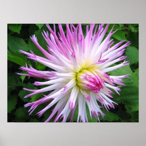 White pink dahlia - Poster