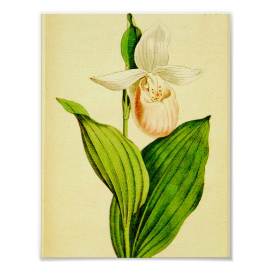 White & Pink Lady Slipper Poster