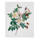White pink roses vintage poster