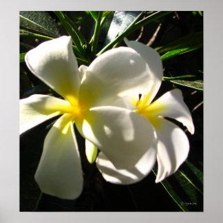 White Plumaria Frangipani Flowers Poster Print