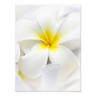 White Plumeria Flower Frangipani Floral Flowers Photo
