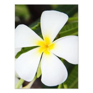 White Plumeria Flower - Frangipani Floral Template Art Photo