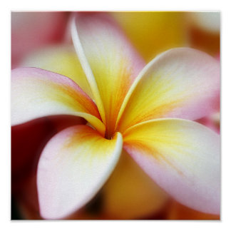 White Plumeria Frangipani Hawaii Flower Hawaiian Poster