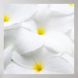 White Plumeria Frangipani Hawaiian Tropical Flower Poster