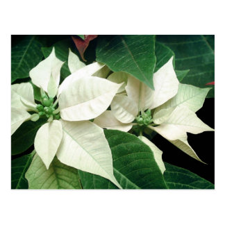 White Poinsettias Postcard