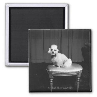 White poodle sitting on stool B&W Magnet
