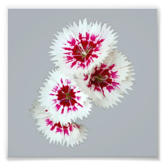 White & Purple Dianthus Flower Photo Print