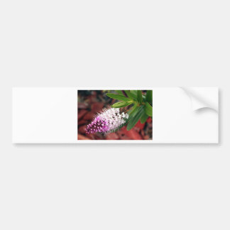 White & purple Hebe flower in bloom Bumper Stickers
