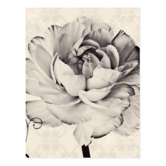 White Ranunculus Flower Black Background Postcard
