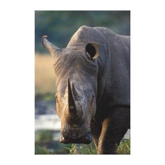 White Rhino (Ceratotherium Simum) Portrait Canvas Print