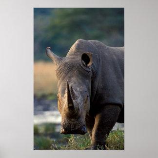 White Rhino (Ceratotherium Simum) Portrait Poster