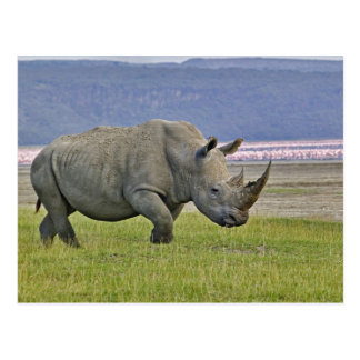 White Rhinoceros and distant Lesser Flamingos, Postcard