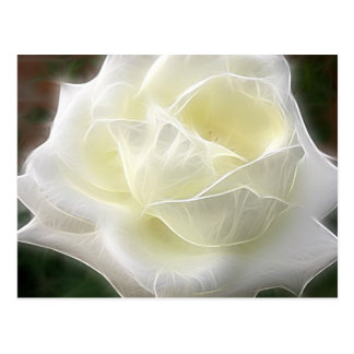 White Rose 3 Angelic Post Card