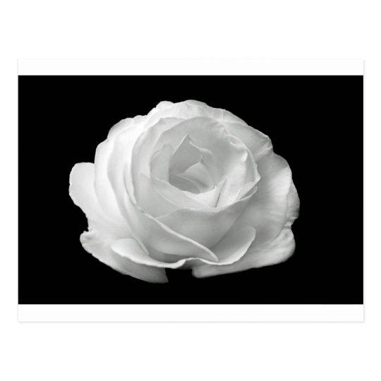 White Rose Blossoms Flowers Garden Peace Love Art Postcard