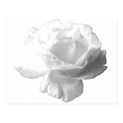 White Rose Design Postcard