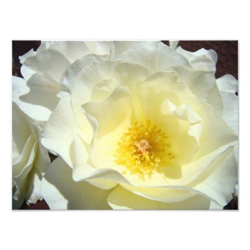 White Rose Flower Photography art prints Roses Art Photo
