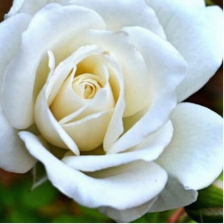 White Rose of Love Photo Sculptures
