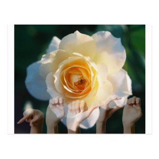 White Rose of  Peace - ASL Post Cards