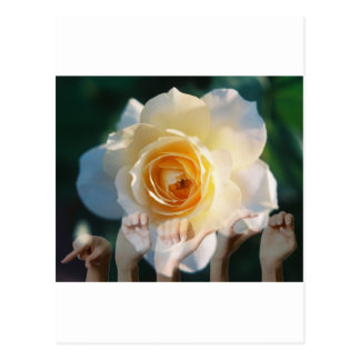 White Rose of  Peace - ASL Postcards