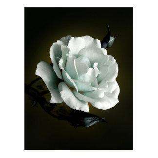 White Rose Photo On Black Background Postcard