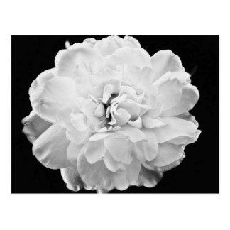 White Rose Postcard