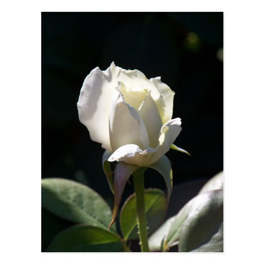 White Rose Postcard