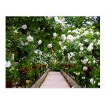 White rose walkway postcard