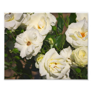 White Roses in Bloom - Flower photography Photo Print