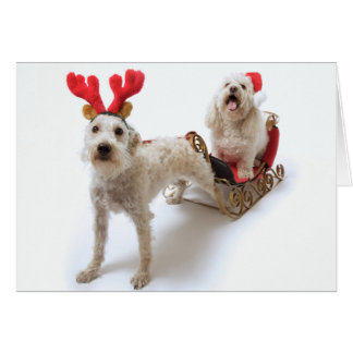 white schnoodle standing with red christmas greeting card