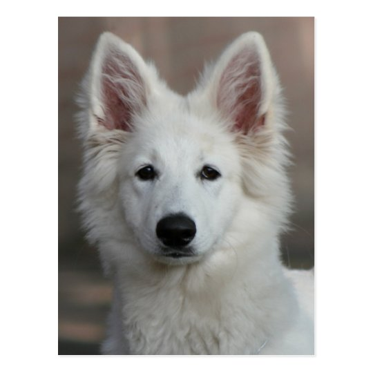 white shepherd pup postcard