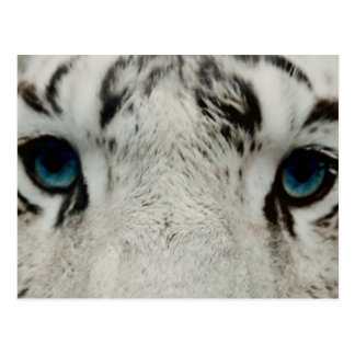 White Siberian Tiger Post Cards