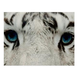 White Siberian Tiger Postcard