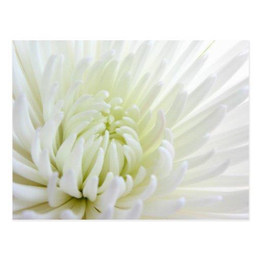 White Spidermum Flower Postcard