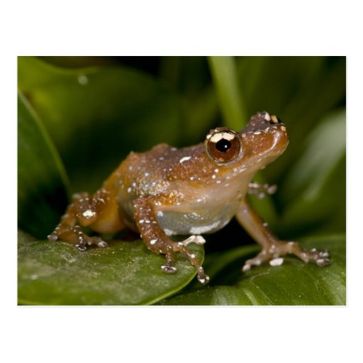 White Spotted Frog, Nytixalus pictus, Native Post Card