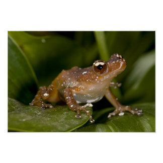 White Spotted Frog, Nytixalus pictus, Native Poster