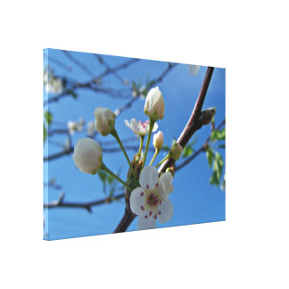 White Spring blossoms on show Canvas Print