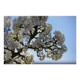 White Spring Flowering Tree and Sky Poster