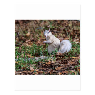 White Squirrel of Brevard Post Card