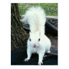 White Squirrel Postcard