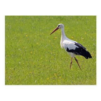 White Stork on a Meadow Postcard