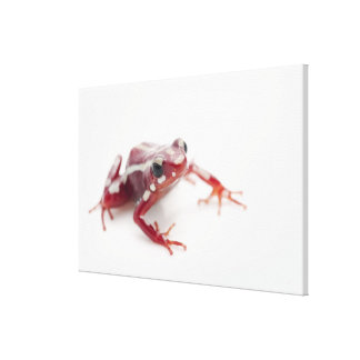 White-striped Poison Dart Frog 2 Canvas Print