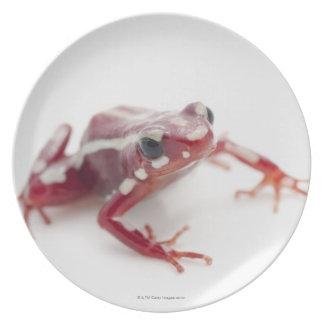White-striped Poison Dart Frog 2 Dinner Plate